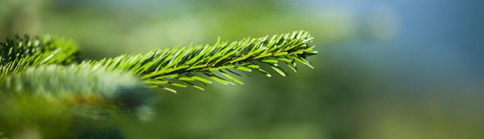 Detailfoto eines Christbaumzweiges