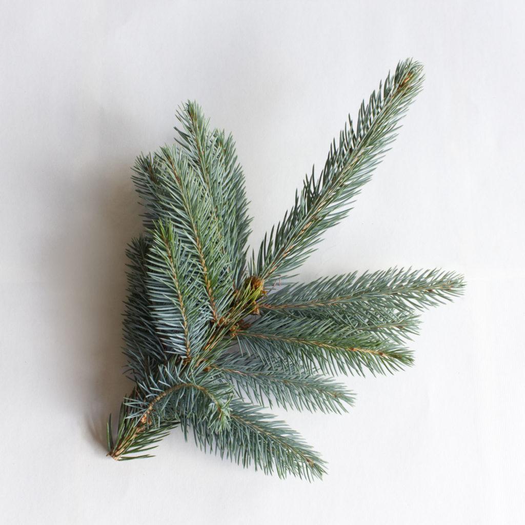 Blaufichte - Picea pungens