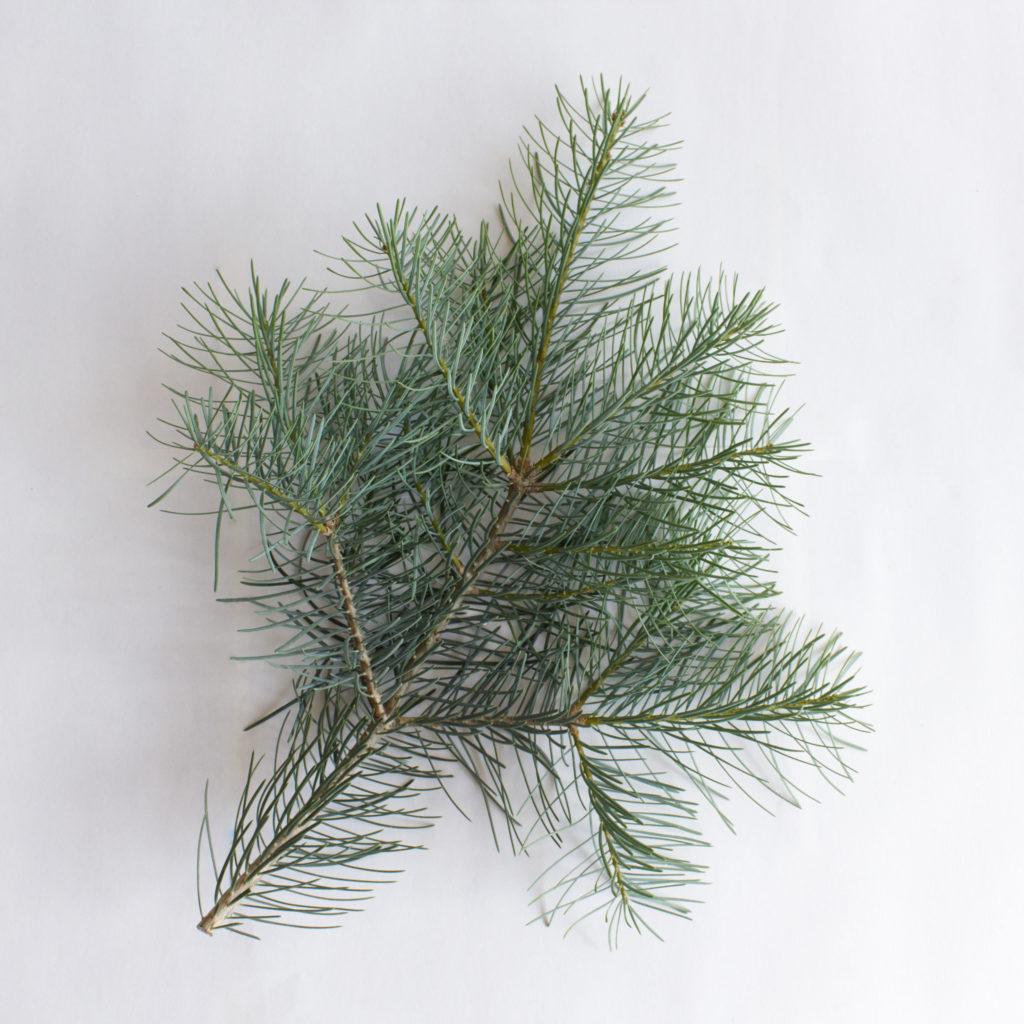 Coloradotanne - Abies concolor